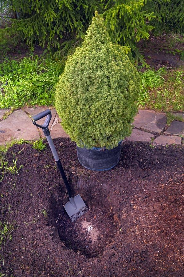 幼树在园林中种植 盆边针叶苗、树苗 库存照片