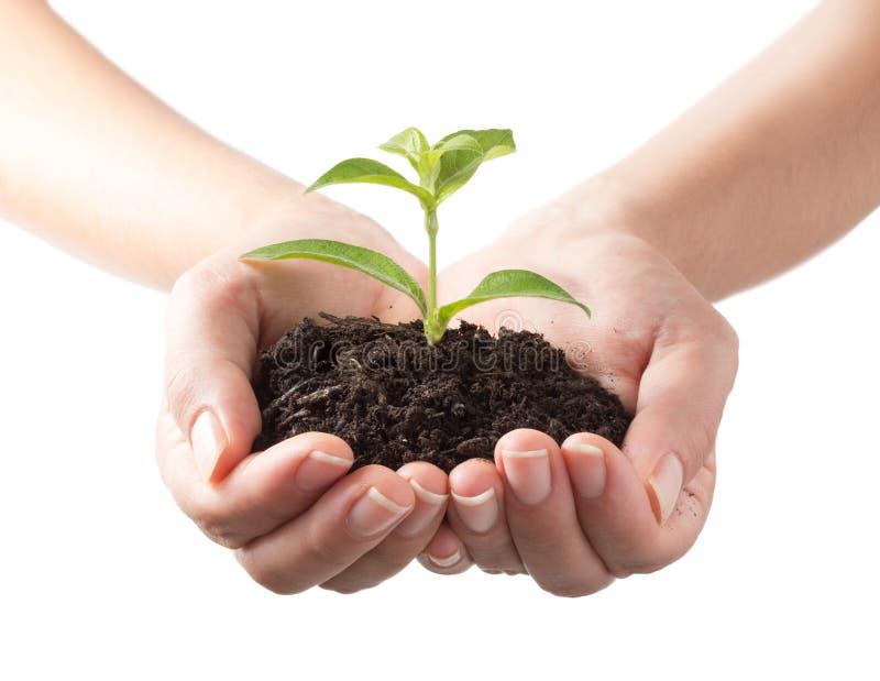 年幼植物在人的手上 库存照片