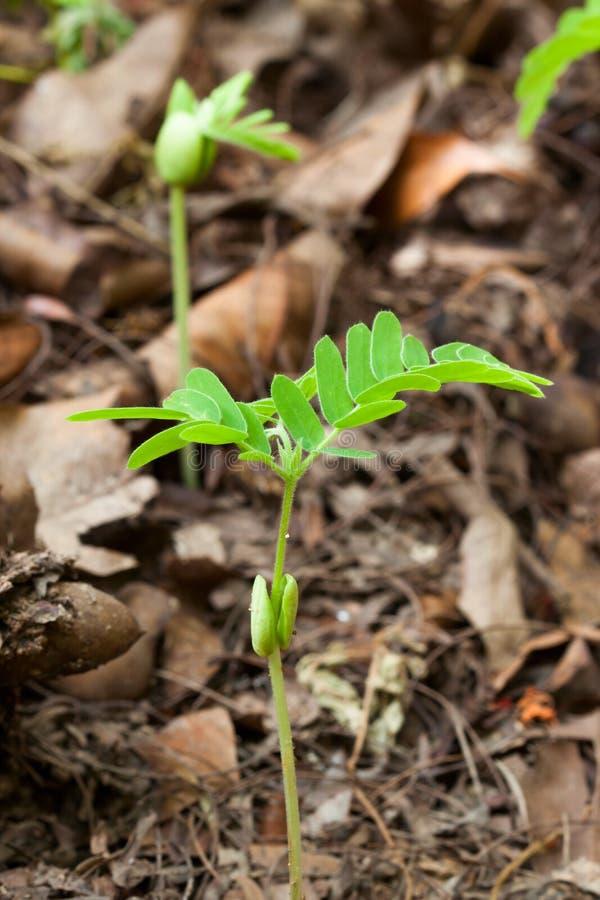 年幼植物种子 免版税图库摄影