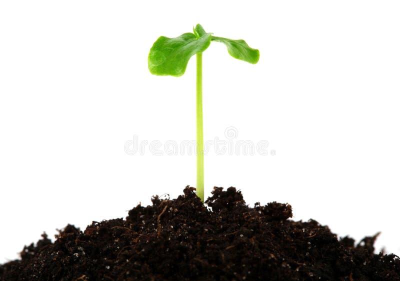 年幼植物 免版税库存图片