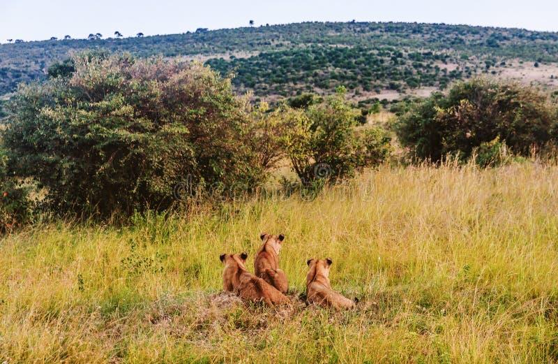 幼狮休息在草的,马塞语玛拉,肯尼亚,非洲 图库摄影