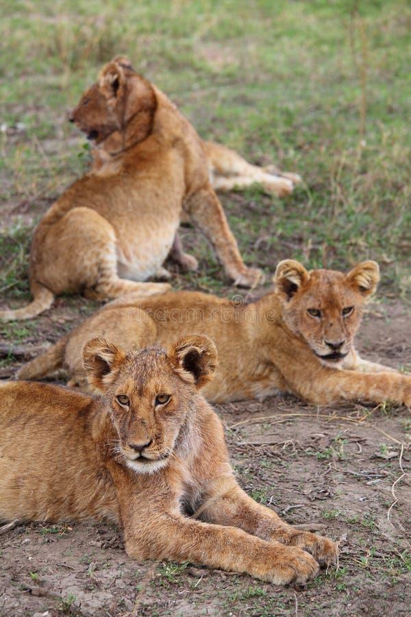 幼狮在塞伦盖蒂 免版税库存照片