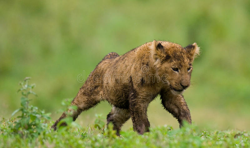 幼狮打呵欠 国家公园 肯尼亚 坦桑尼亚 mara马塞语 serengeti 库存照片
