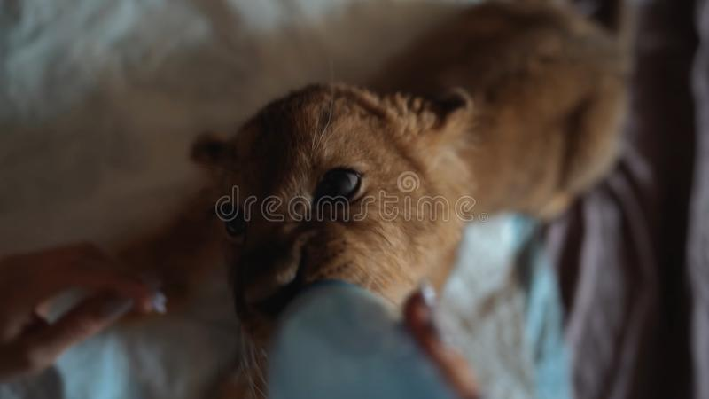 幼狮饮用的瓶 图库摄影