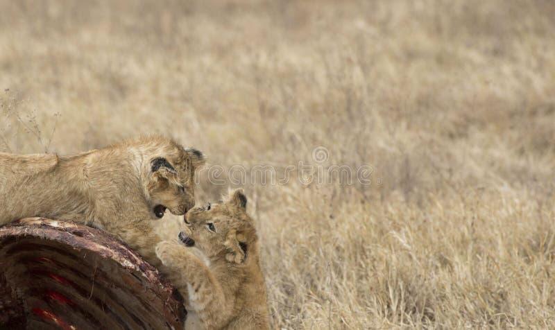 幼狮,戏剧战斗在角马尸体  库存图片