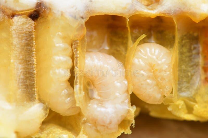 幼虫在蜂箱的蜂蜜蜂 免版税库存图片