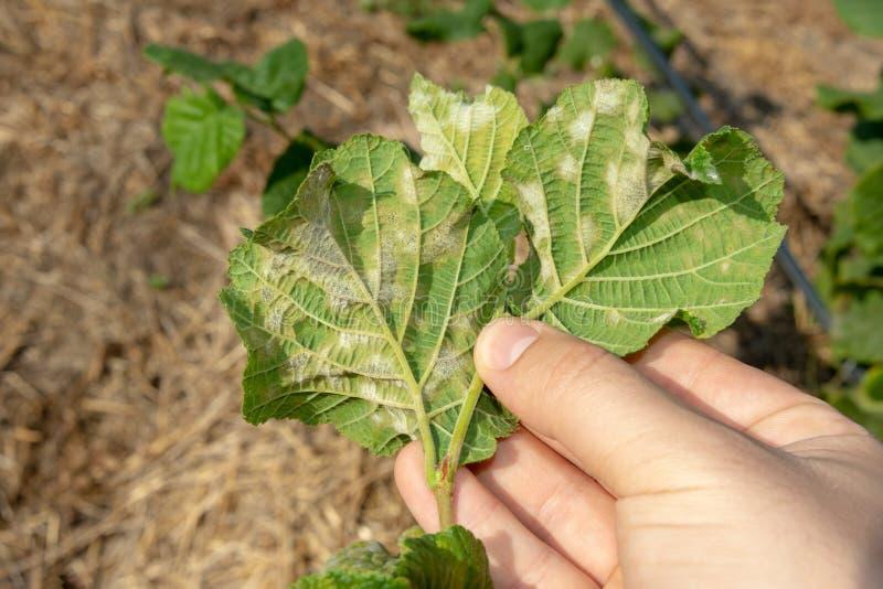 幼虫毛虫吃榛子坚果留下特写镜头宏指令 核桃庭院虫 图库摄影