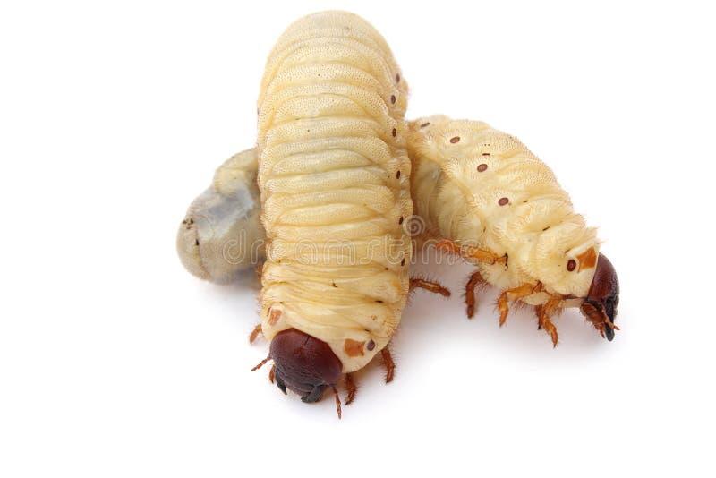 幼虫 免版税库存照片