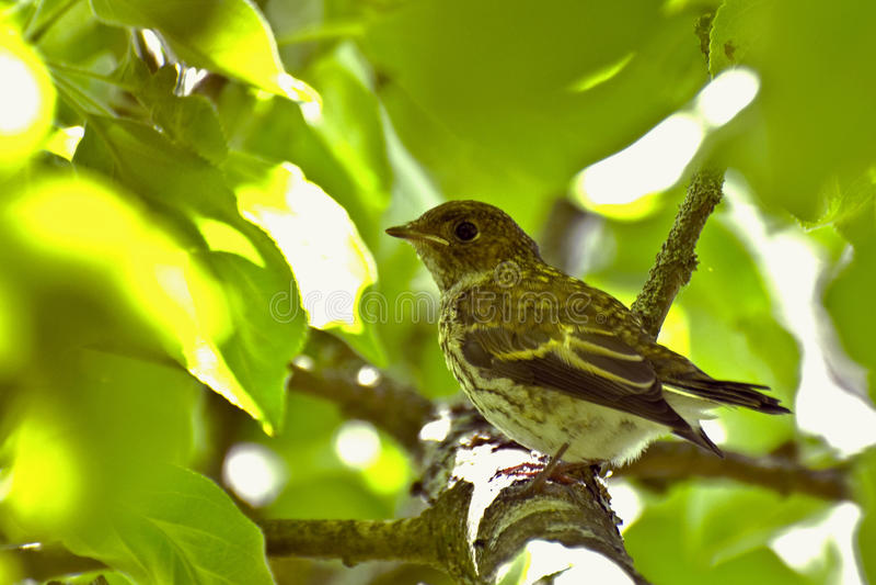 幼鸟在分支的叶子中掩藏 图库摄影