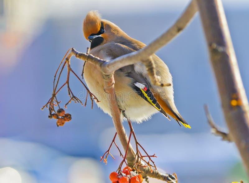 在一个花揪分支的明亮的鸟太平鸟与红色 免版税库存图片