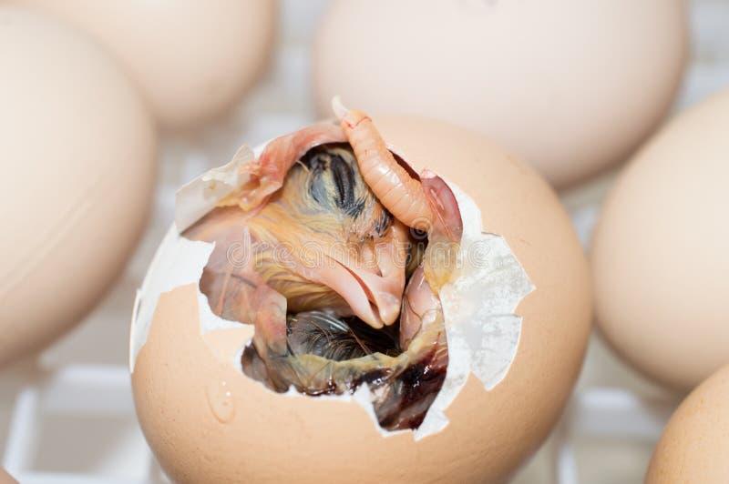 幼鸟孵化 免版税图库摄影