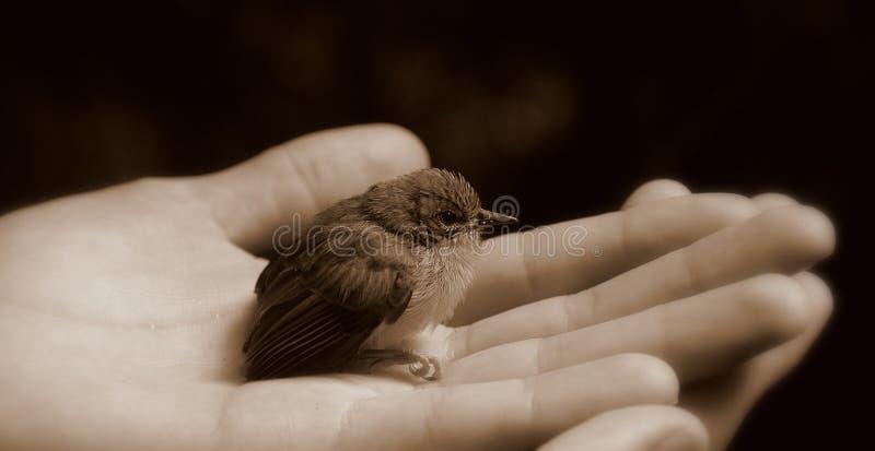 Download 幼鸟黑手党白色 库存图片. 图片 包括有 商业, 现有量, 重量, 帮助, 同情, 野生生物, 哺育, 烧杯 - 3652599
