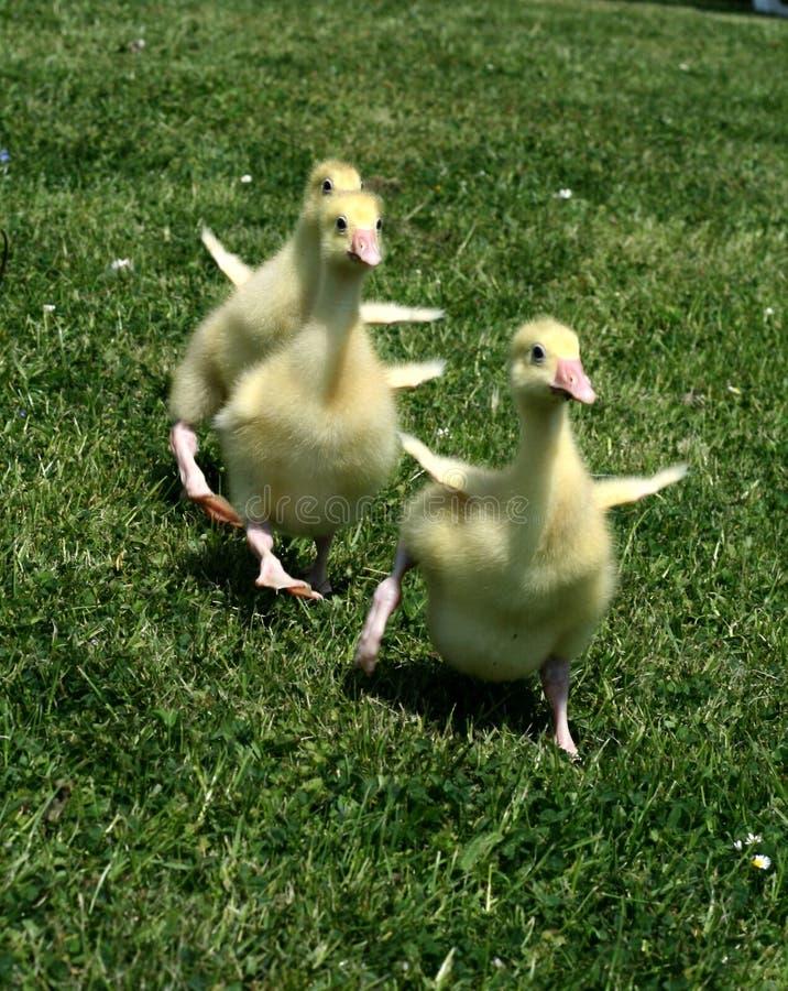 幼鹅短跑 库存图片