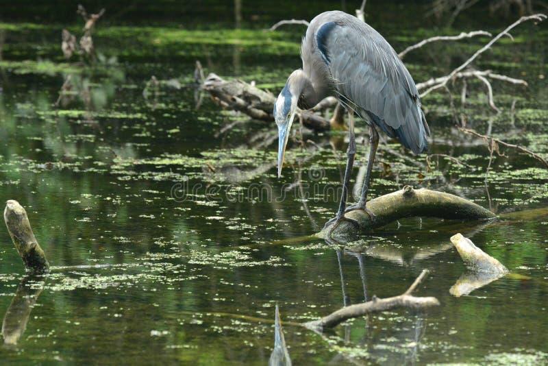 庄严伟大蓝色的苍鹭的巢保持平衡触击 免版税库存图片