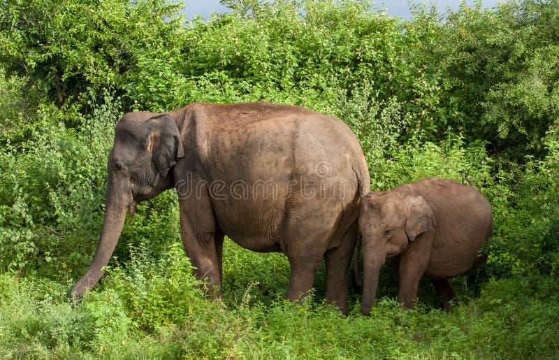 庄严大象亚洲象属maximus在Udawalawe国家公园-母亲和婴孩灌木斯里兰卡徒步旅行队的 免版税库存图片