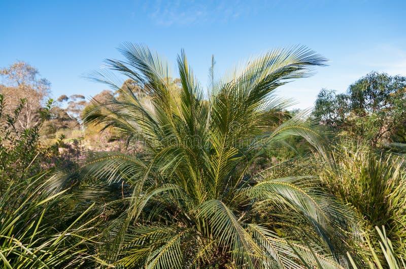 庄严棕榈有鳍类的叶状体自然背景 库存图片