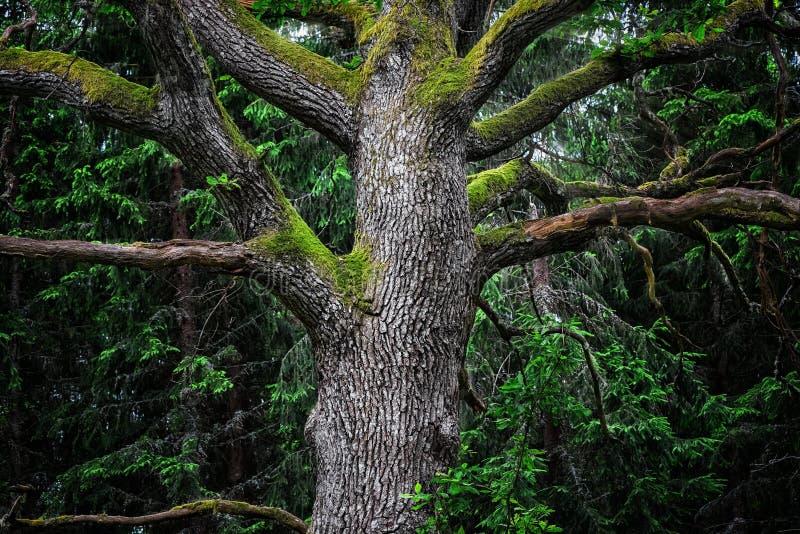 庄严橡树细节在森林里 免版税库存照片