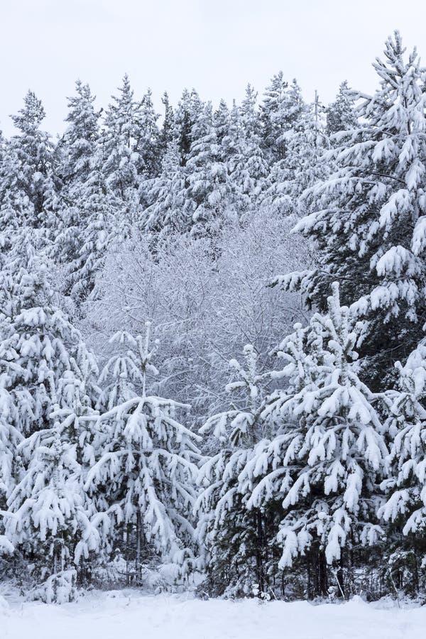 庄严白色积雪的云杉 美丽如画和华美的冬天场面 免版税图库摄影