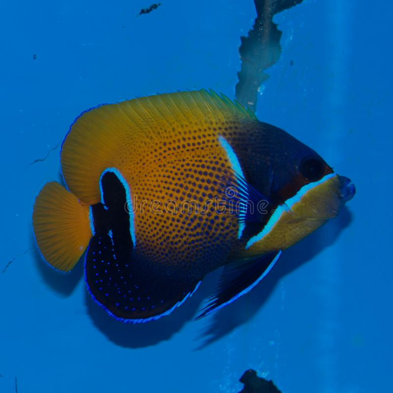 庄严神仙鱼Pomacanthus navarchus 免版税图库摄影