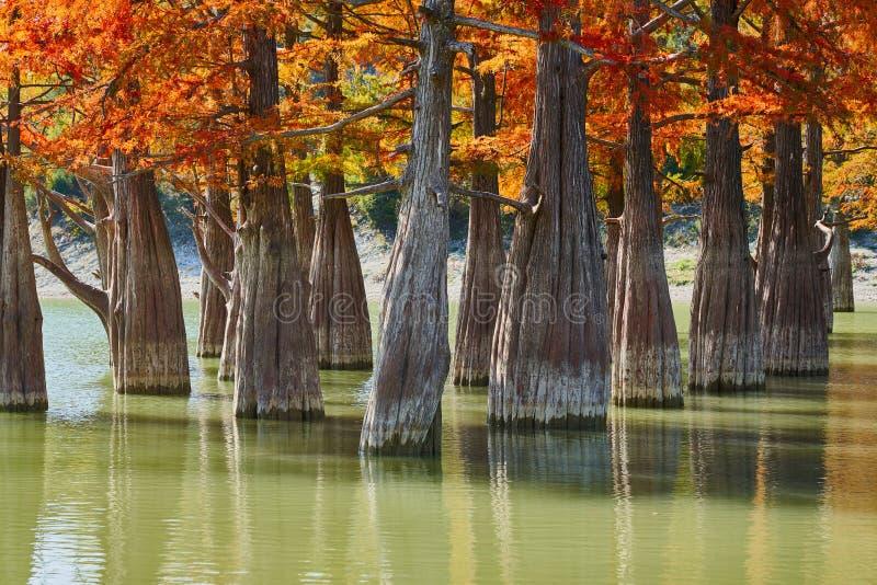 庄严金黄落羽松distichum立场在一个华美的湖反对高加索山脉的背景秋天的 秋天 免版税图库摄影