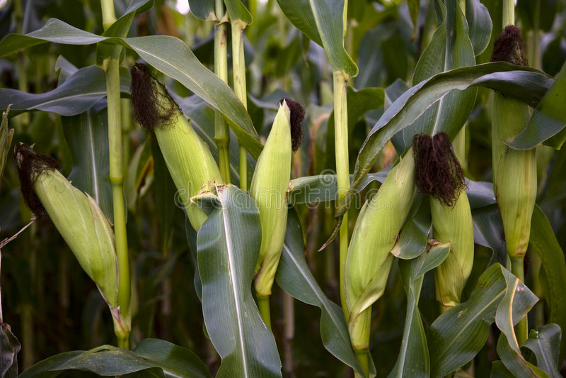 庄稼玉米 免版税图库摄影