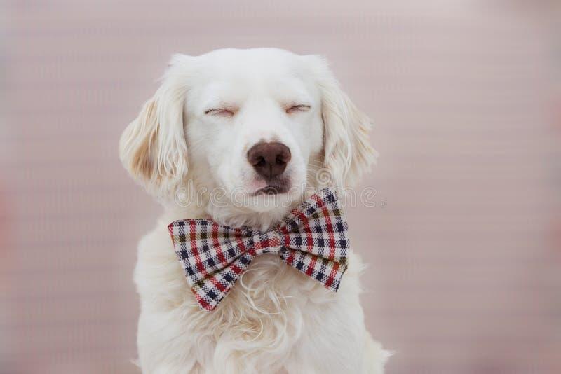 庆祝与闭合的眼睛的画象典雅的狗一个生日、狂欢节或者周年佩带的葡萄酒方格的蝶形领结 ?? 图库摄影