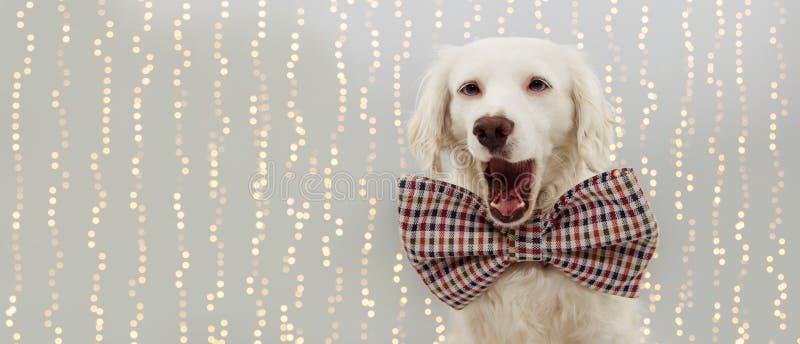 庆祝圣诞节的横幅愉快的狗、生日或者新年或者党 佩带葡萄酒蝶形领结 隔绝反对色的灰色 库存图片