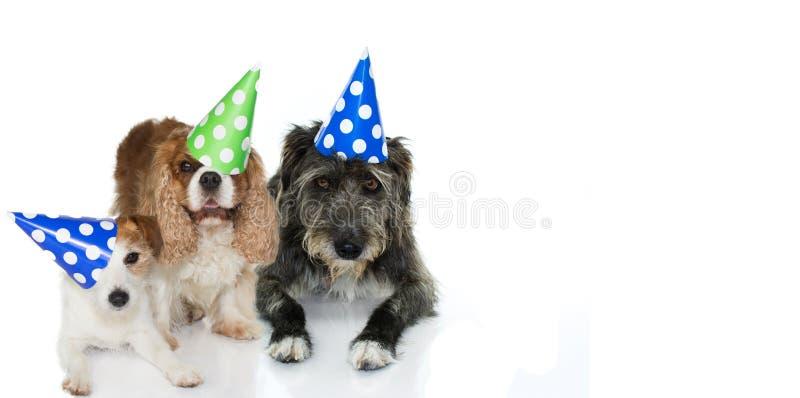 庆祝生日聚会的树狗佩带蓝色,绿色和 免版税库存照片
