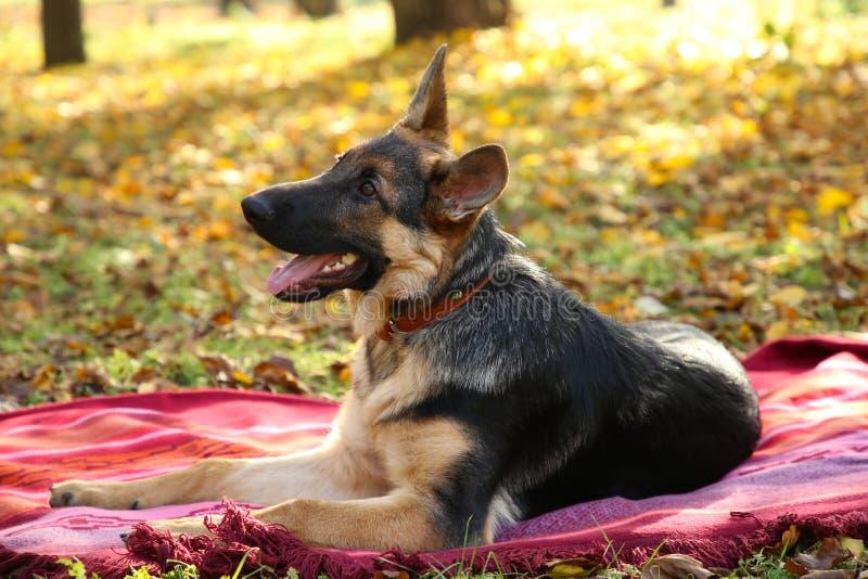 床罩的德国牧羊犬在秋天公园 狗在森林里 图库摄影