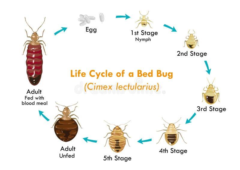 床铺臭虫传染媒介eps10的生命周期 向量例证