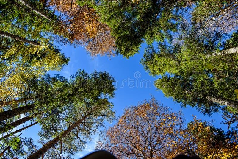 底视图 林木冠在秋天 免版税库存图片