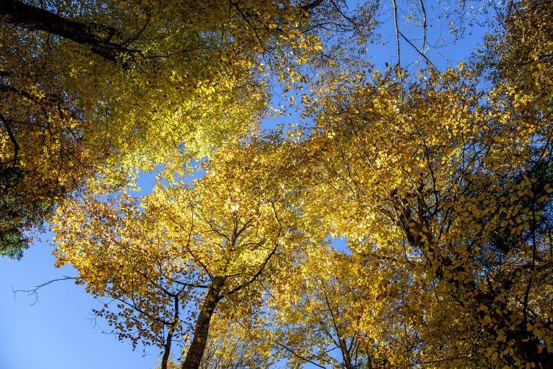 底视图 林木冠在秋天 图库摄影