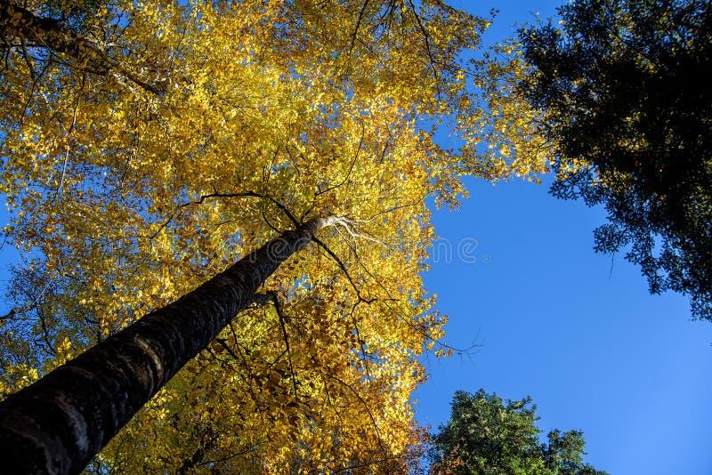 底视图 林木冠在秋天 库存照片
