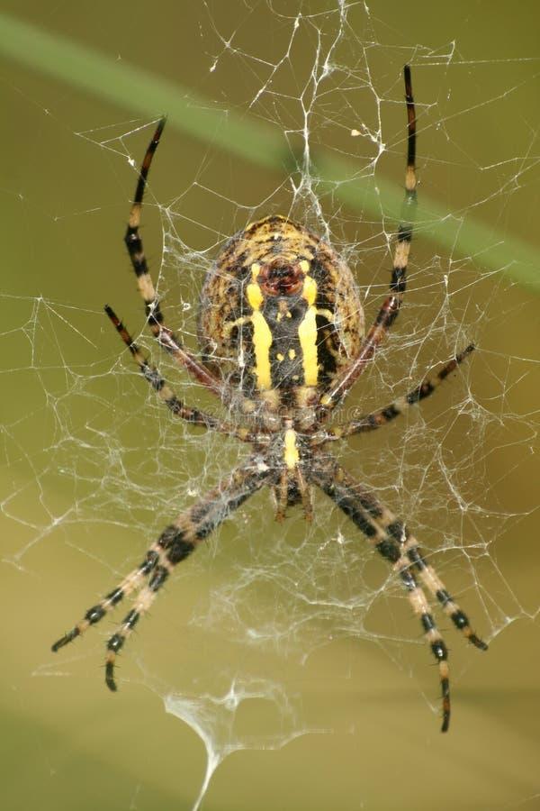 底部蜘蛛查阅黄蜂 库存图片