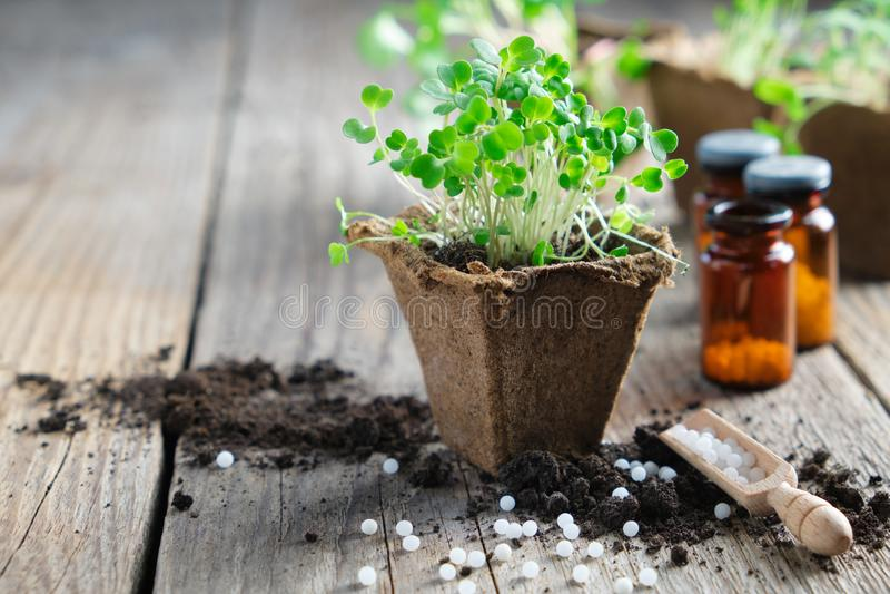 庭园花木,新芽在前景的芝麻菜和对植物的顺势医疗药方增长的幼木种植的 免版税库存图片