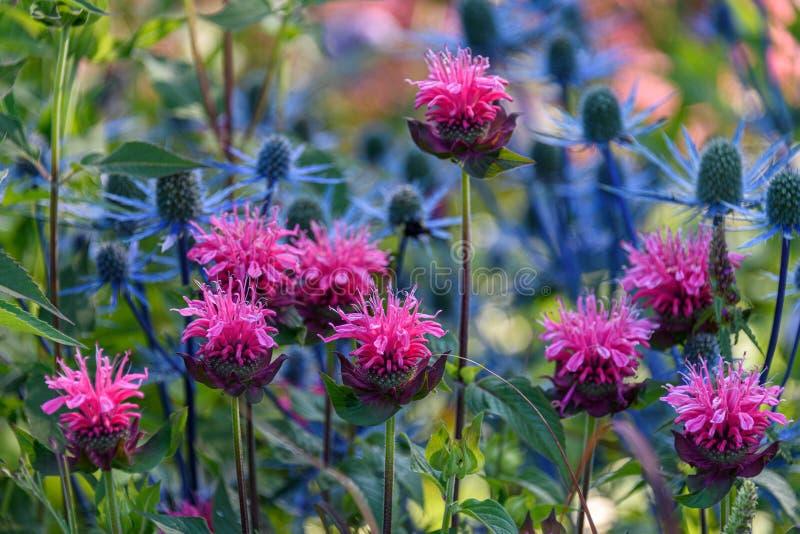 庭院关闭在绽放的桃红色蜜蜂香膏,与蓝蓟在背景中 免版税图库摄影