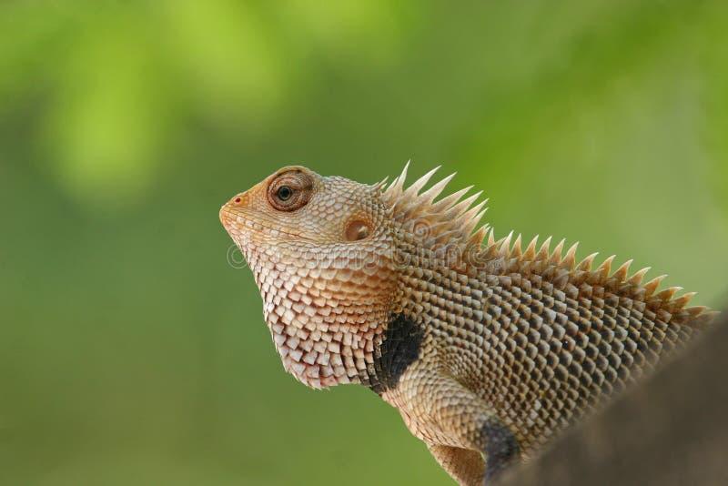 庭院印地安人蜥蜴 库存图片