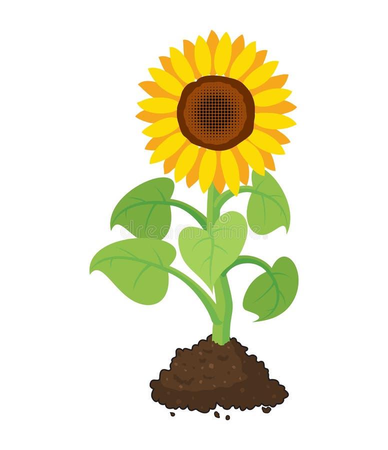 庭院向日葵动画片在土壤增长 向量例证