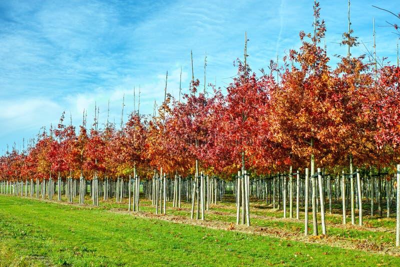 庭院和公园苗圃场专门研究媒介对非常大型树,白色美国橡树种植园 图库摄影