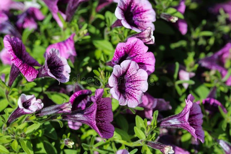 庭院喇叭花杂种(喇叭花× atkinsiana)在庭院里,开花在春天 免版税库存图片