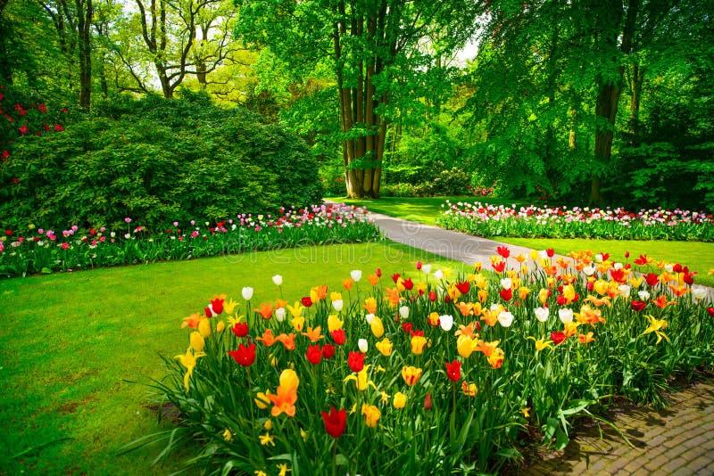 庭院在Keukenhof,郁金香花。荷兰 库存照片