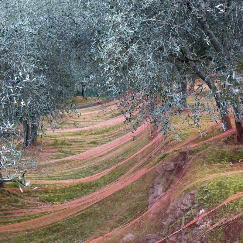 庭院收获橄榄时间 免版税库存照片