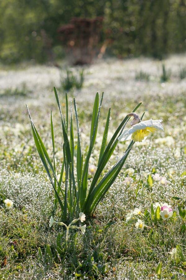 庭院早晨露水花和下落  图库摄影