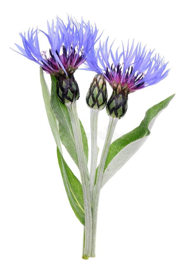 庭院春天矢车菊植物的蓝色花和芽 库存图片