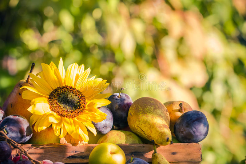 庭院晚夏季节性水果篮光落日 免版税库存照片