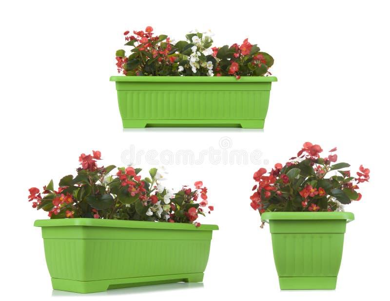 庭院有在白色隔绝的喇叭花植物的花盆, multipl 免版税库存照片