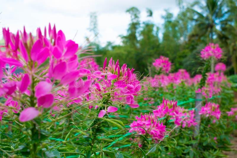 庭院有很多新鲜的开花的桃红色瓣花 免版税库存图片
