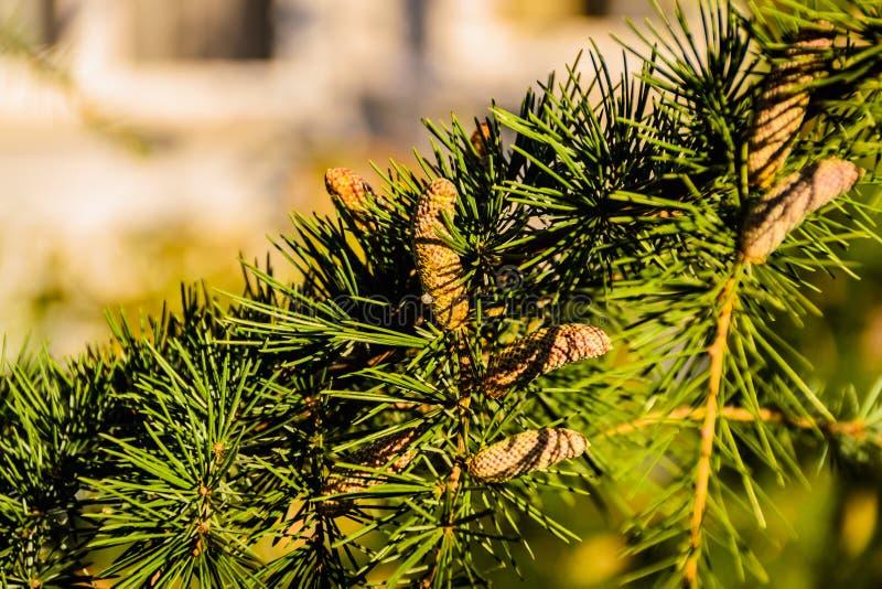 庭院杉树 免版税库存图片
