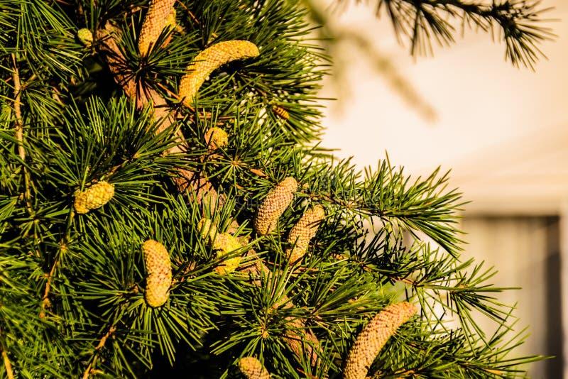 庭院杉树 免版税图库摄影