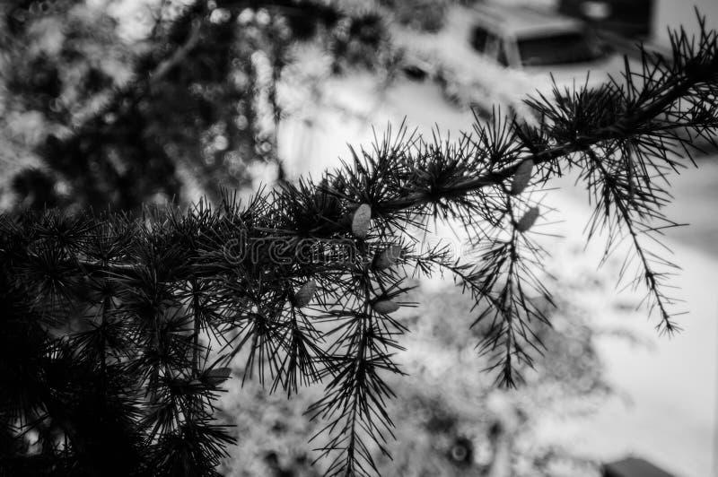 庭院杉树 图库摄影